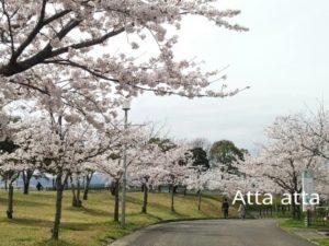 森林公園 桜 見物 佐賀