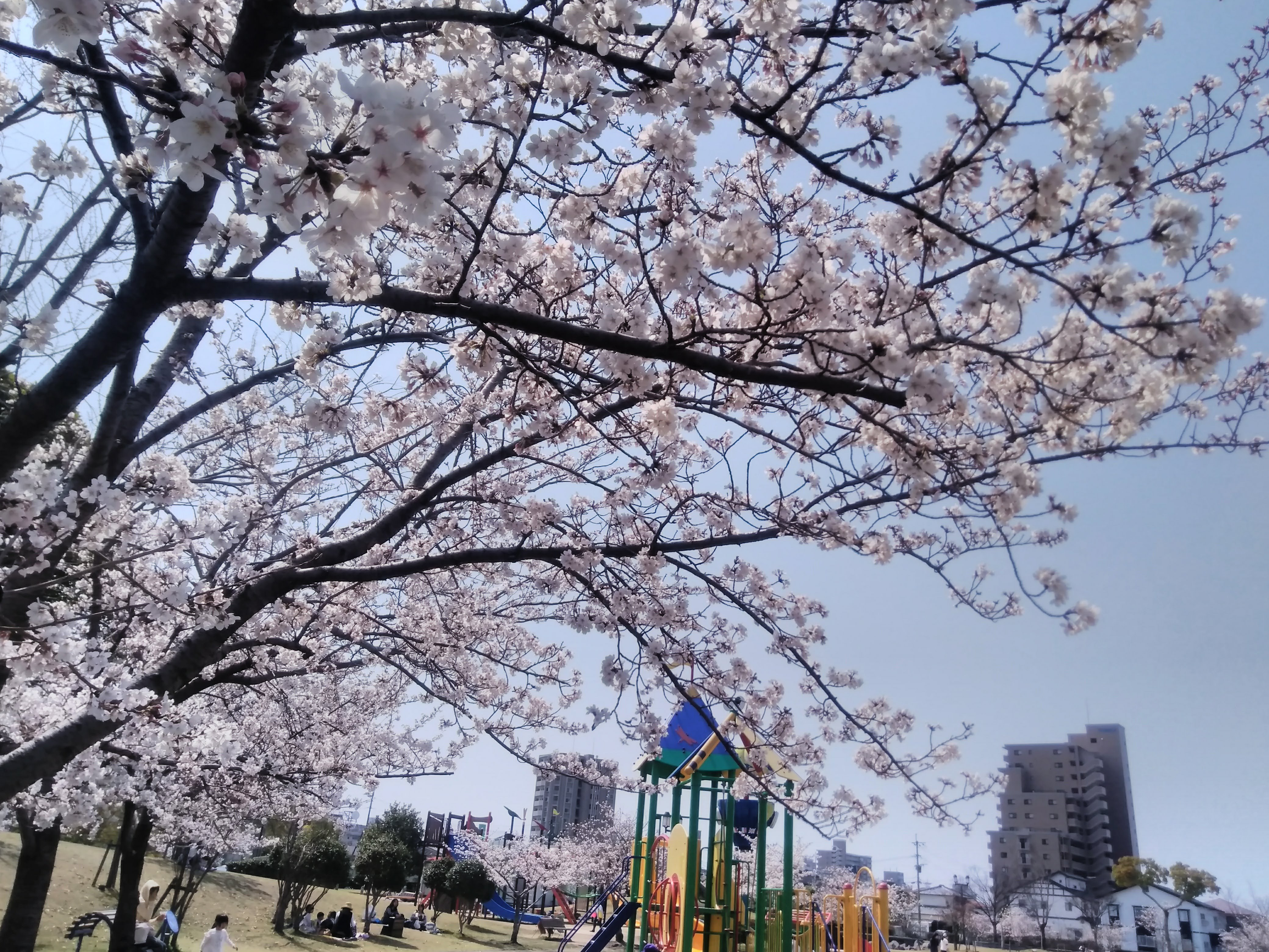佐賀 夢咲公園 お花見