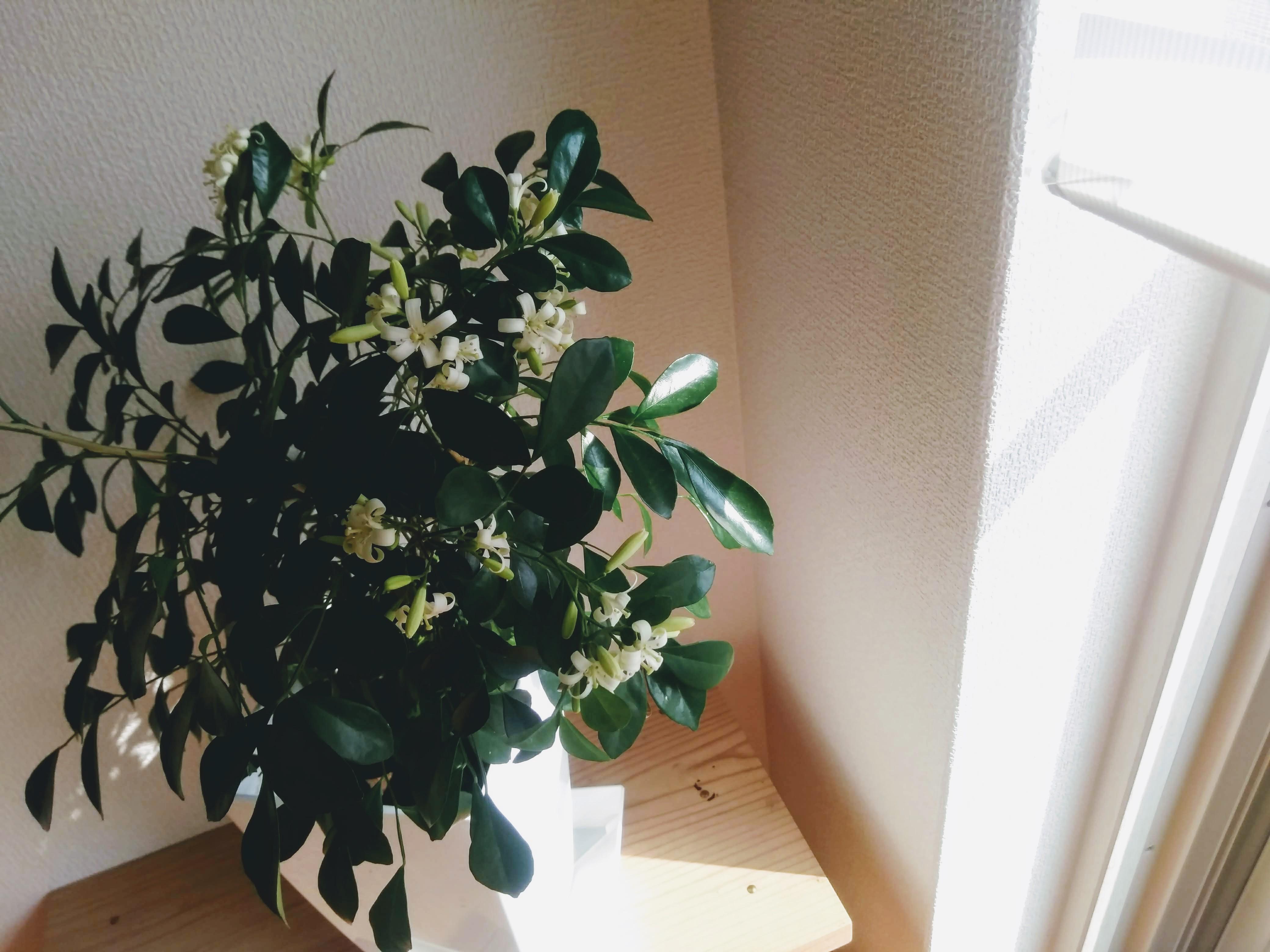 観葉植物 シルクジャスミン