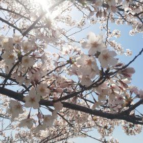 緊急事態宣言 休止 桜